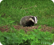 Badger in a field
