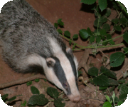 Badgers monitoring and research projects