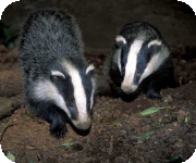 Badgers development licence applications