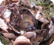 Dormouse in nest
