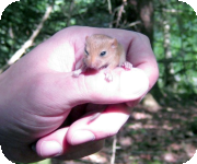 Dormice research projects