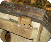 Dormice nest box and monitoring projects