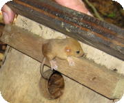 Dormice habitat surveys