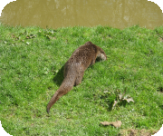 Otter habitat surveys